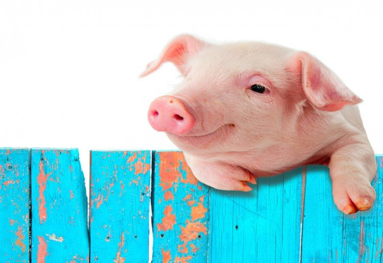 Primary School Sparks Outrage After Revealing Plans to Slaughter Pet Pig