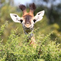 Video: Baby giraffe takes first steps
