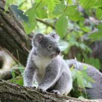 Video: Adorable koala twins not giving Mum any peace