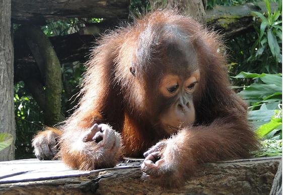 Video: Baby orangutan makes zoo debut