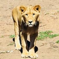 A Wild Safari Adventure At Taronga Western Plains Zoo